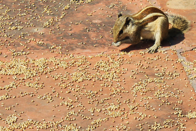 1-India-Squirrels